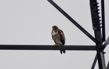 Red-tailed Hawk (GB)