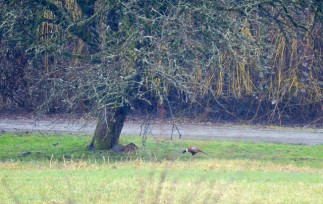 Ring-necked Pheasant (GB)