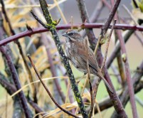 Song Sparrow (GB)