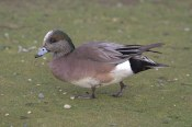 American Wigeon (MS)