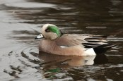 American Wigeon (PS)