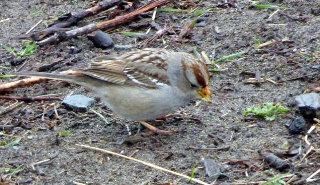 White-crowned Sparrow juv. (RM)