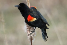 Red-winged Blackbird (TC)