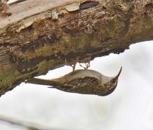 Brown Creeper (BA)