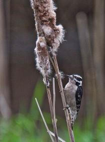 Downy Woodpecker f. (BA)