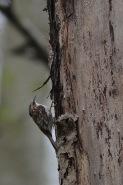 Brown Creeper (CMcV)