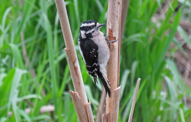 Downy Woodpecker m. (DH)