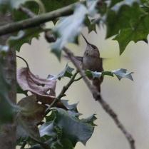 Anna's Hummingbird (TC)