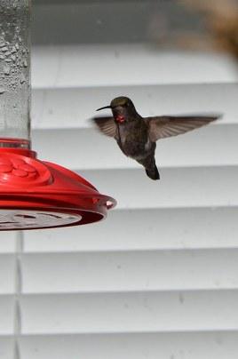 Anna's Hummingbird (CMcV)