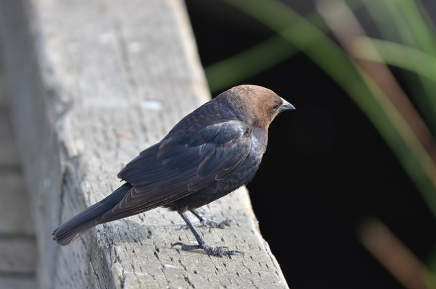 Brown-headed Cowbird (CMcV)