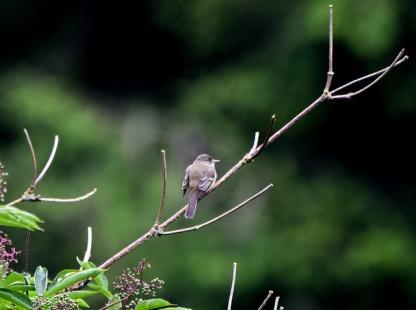 Willow Flycatcher (GB)