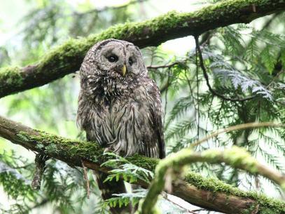 Barred Owl (JK)