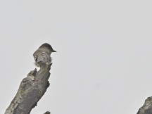 Olive-sided Flycatcher (JK)