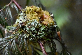 Hummingbird nest (KB)