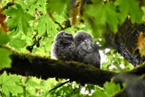 Barred Owlets (KB)