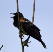 Red-winged Blackbird (MS)