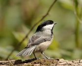 Black-capped Chickadee (PS)