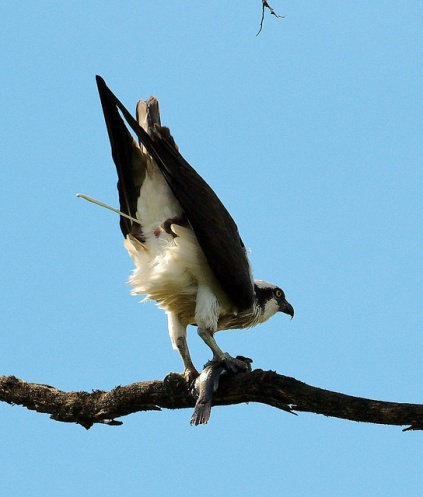 Osprey with fish (PS)