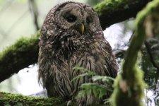 Barred Owl (TC)