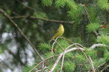 Orange-crowned warbler (TC)