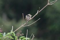 Willow Flycatcher (TC)