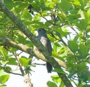 Gray Catbird (BA)