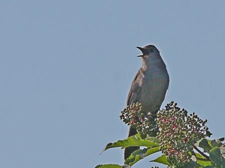 Gray Catbird (JK)
