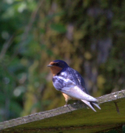 Barn Swallow (MS)