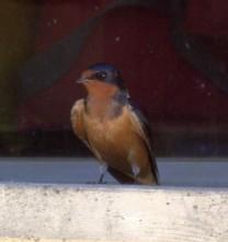 Barn Swallow (MS)