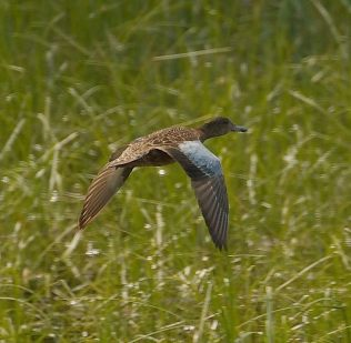 Blue-winged Teal (PS)