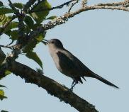 Gray Catbird (PS)
