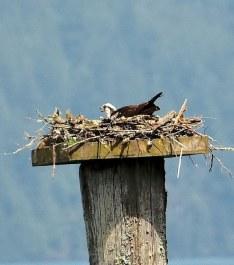 Osprey (PS)