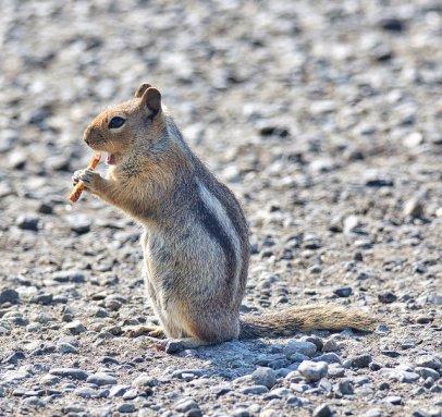 Cascade Golden Mantled Ground Squirrel (BA)