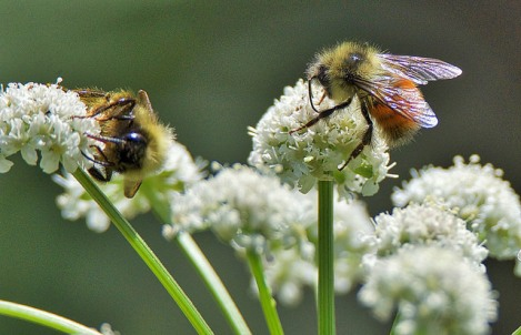 Flowers with bees (BA)