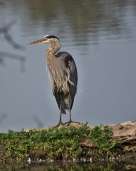 Great Blue Heron (BA)