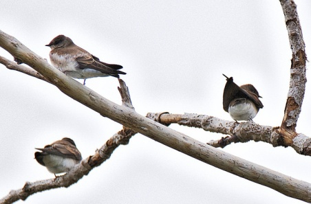 Northern Rough-winged Swallows (BA)