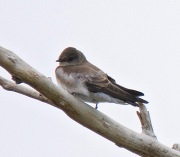 Northern Rough-winged Swallow (BA)
