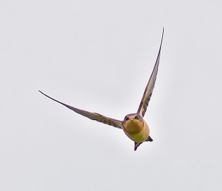 Barn Swallow (CMcV)
