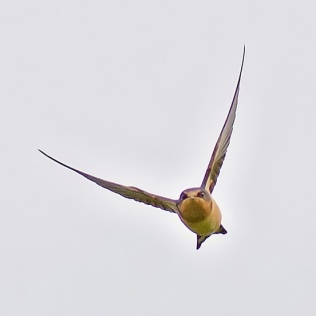 Barn Swallow (CMcV)