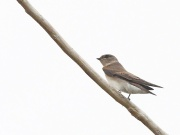 Northern Rough-winged Swallow (JK)