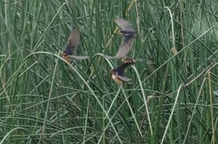 Barn Swallow juveniles (JMacD)