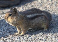 Cascade Golden Mantled Ground Squirrel (MS)