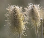 Western Pasqueflower (MS)