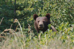 Black Bear (PS)