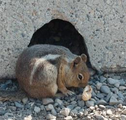 Cascade Golden Mantled Ground Squirrel (PS)
