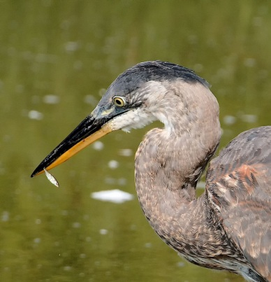 Great Blue Heron (PS)