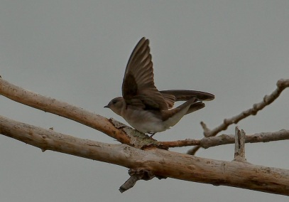 Northern Rough-winged Swallows (PS)