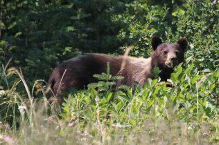 Black Bear (TC)