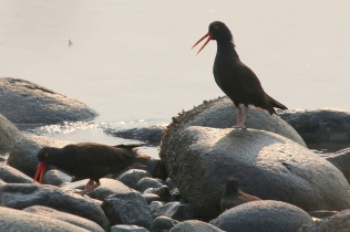 Black Oystercatchers (TC)