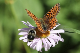 Pacific Fritillary butterfly (TC)